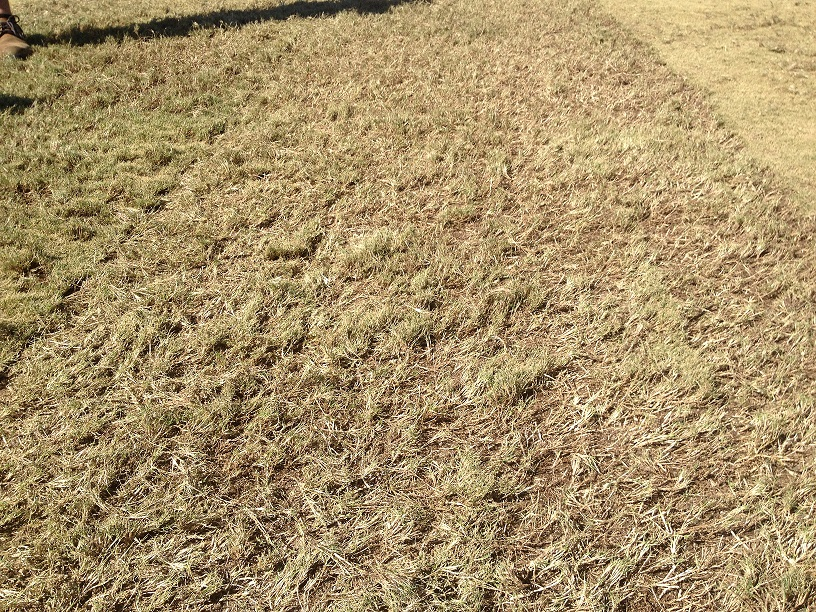 WinterBermudaGrass